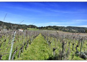 Bodega F. Schatz huge vineyard full of vines in Spain