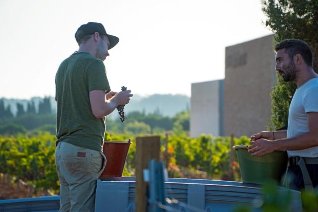 harvesting at Bodega Son Juliana vineyard in Spain