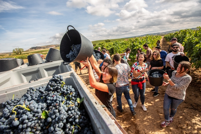 bodegas arrocal winemakers harvesting grapes on vineyard near winery in spain