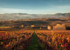 bodegas godelia slender rows of grapevines on vineyards near winery