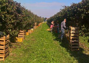 winemakers harvesting grapes at Villa Canthus vineyard