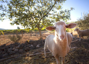 carlania celler sheeps grazes in the courtyard near winery in spain