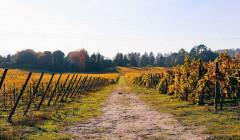casa de vilacetinho slender rows of grapevines on vineyard near winery