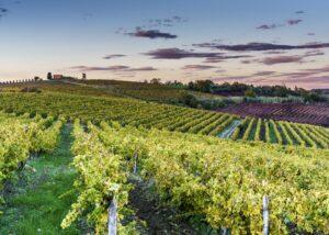 cattunar lush and amazing vineyards near winery in croatia