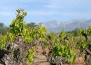 Domaine Deprade Jorda - vineyards