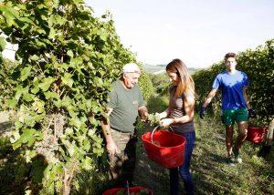Tenuta Santi Giacomo e Filippo winemakers harvesting grapes at vineyard