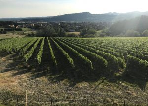 la bollina slender rows of grapevines on vineyard near winery