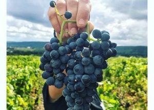 Champagne Albert Beerens - Black grape variety