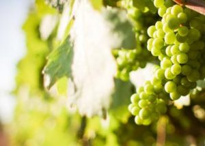 Champagne Jean Pierre Seconde - white grape variety