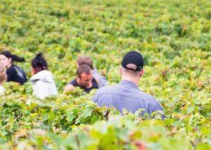 Champagne J. de Telmont - harvest time activity in the vineyard