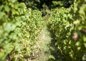 Champagne Albert Beerens - row of the vineyards