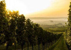 The vineyards with a sunset at Château de Tauziès