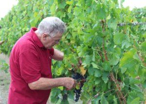 churchview estate winemaker harvesting black grapes on the vineyard