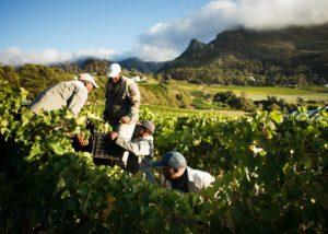 constantia glen winemakers harvesting grapes on vineyard near winery