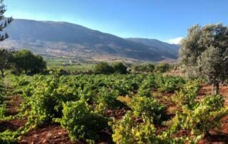 coteaux du liban amazing and lush vineyard near winery in lebanon