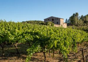 crivellé i valls slender rows of grapevines on vineyard near winery