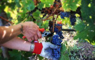 harvesting process at vineyard of Tenuta Fertuna winery