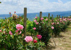 vineyard of Tenuta Vitalonga with roses and nice view