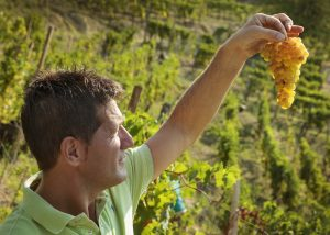 Tenuta Il Falchetto winery owner works at vineyard in Italy