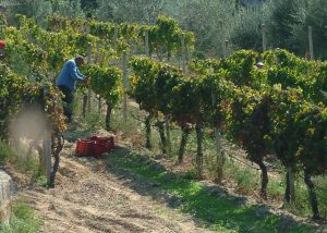 winemakers works on the vineyard in the poggio di bortolone winery.