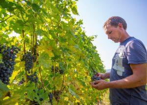 Winemaker cuts a ripe bunch of black grapes in the winery La Dama.