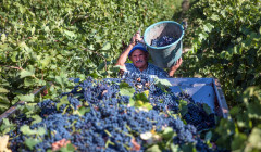 Tenute Lombardo worker gathering grapes with his own hands in Italy