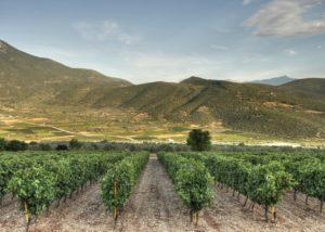 domaine skouras slender rows of grapevines on vineyard near winery