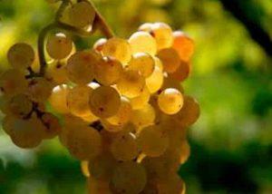 A white grape variety at Jean Wach & Fils