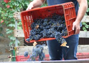 Winemaker spills ripe bunches of black grapes at Perazzeta winery.