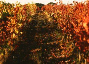 Yellowed vines in the vineyards in the winery Fattoria Carpineta Fontalpino.