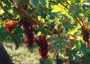 Etienne Simonis - grape varieties