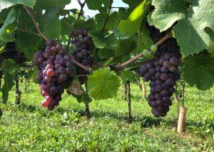 la viarte black grapes on vine on vineyards near winery in italy