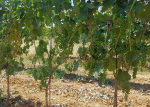 Tenuta San Vito vineyard located in Italy