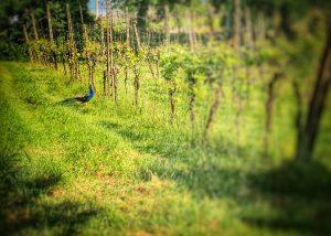 fattoria paradiso amazing and lush vines on vineyard near winery