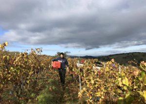 Manual grape harvesting for wine production in Cantina Giuseppe Sedilesu.