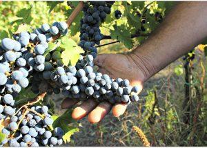 reviewing Tenuta Leonard grapes at vineyard in Italy