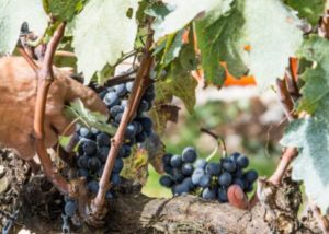 família salton winemaker cuts black grapes from vine in the vineyard