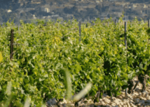 vignobles famille quiot