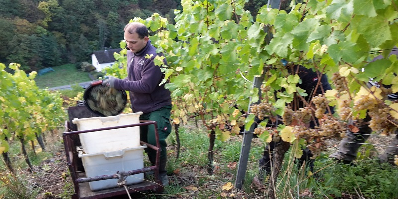 Weingut Philipps-Mühle - harvest