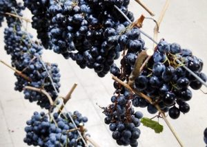 Terre Di Serrapetrona vineyard with look of grapes of vine