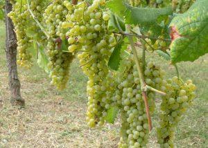grapes growing at Tenuta Neri Giovanni e Valeria vineyard located in Italy
