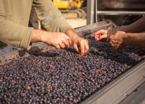 Tenuta Canto alla Moraia grapes sorting during harvesting in Italy