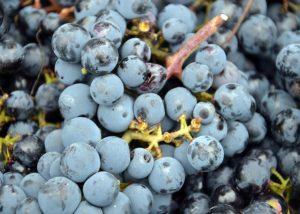 Château Les Remparts - black grape variety