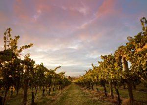 greenstone vineyards slender rows of the grapevines on the vineyard