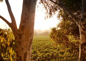 greenstone vineyards stunning gum trees against lush vineyards near winery
