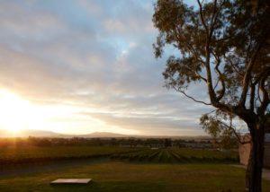 greenstone vineyards beautiful tree against vineyards on the sunset