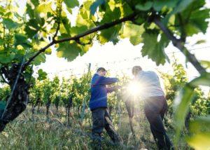 weingut höfling two winemakers working in vineyard near winery in germany