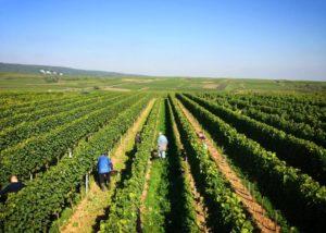 The vineyard rows at Weingut Hanewald-Schwerdt in Pfalz