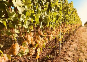 hanewald-schwerdt beautiful and lush vineyards near winery in germany