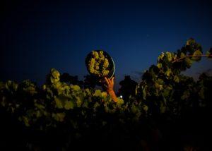herdade da calada winemaker harvesting white grapes on vineyard